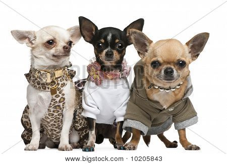 Three Chihuahuas, 2 Years Old, Dressed Up And 1 Year Old, Dressed Up And3 Years Old, Dressed Up And