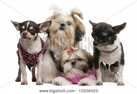 Shih Tzu's, 7 Months Old, 3 Months Old, And Chihuahuas, 4 Years Old, 1 Year Old, Dressed Up And Sitt