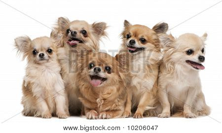 Chihuahuas, 14 Years Old, 11 Years Old, 5 Years Old, 3 Years Old, 1 Year Old, Sitting In Front Of Wh