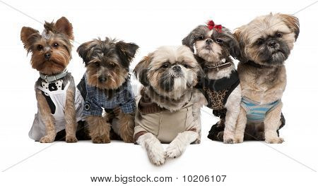 Shih Tzu's, 3 Years Old, 2 Years Old, 8 Months Old, And Yorkshire Terriers, 2 Years Old And 6 Months
