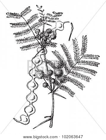 False acacia, vintage engraved illustration. Dictionary of words and things - Larive and Fleury - 1895.