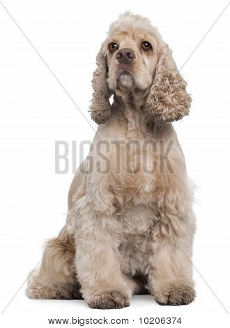 American Cocker Spaniel, 6 Years Old, Sitting In Front Of White Background