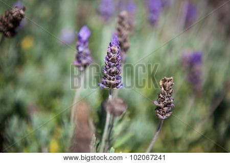 Close up of lavender field in the summer.