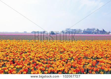 Tulip fields in a dutch landscape in the Netherlands