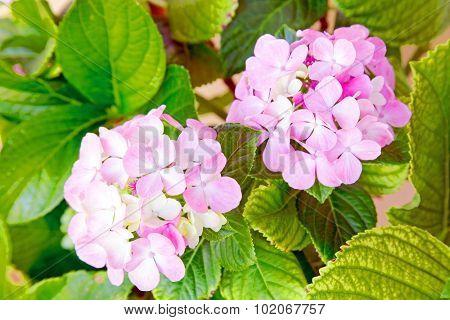 Blossoming hydrangea close up