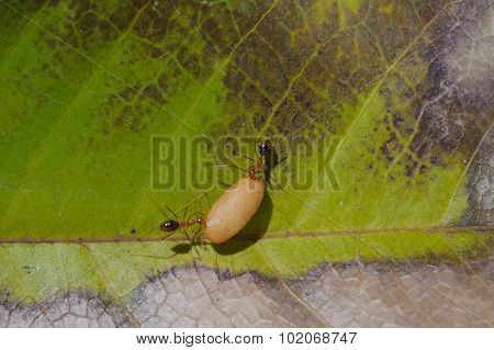 Ant Carry Egg