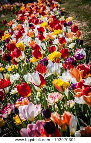 Multi-Colored Tulips in Field