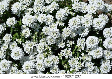 White Iberis Sempervirens Flower