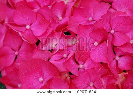 Pink Hydrangea Hortensia Flower