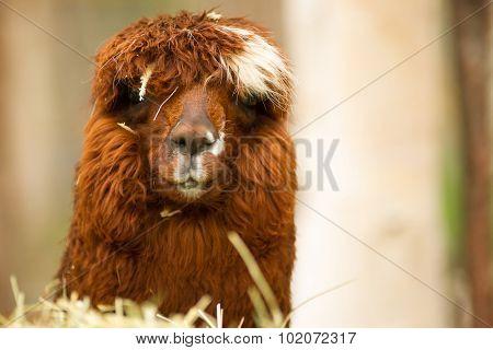 Domestic Llama Group Farm Livestock Animals