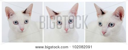 Photo�´s sequence of beautiful white cat with blue eyes and pink nose