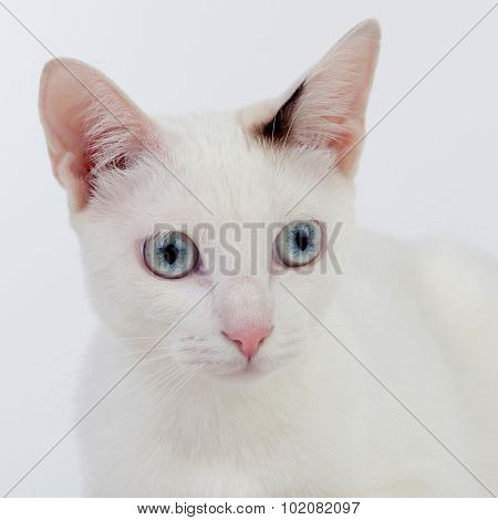 Beautiful white cat with blue eyes