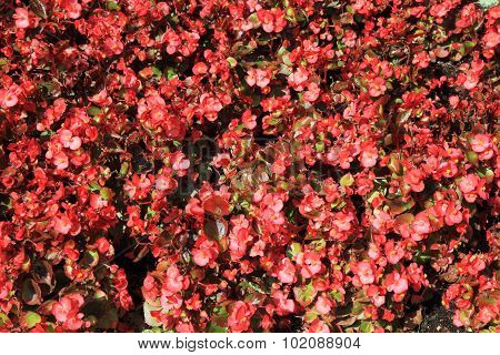 Unknown Red Flowers Background