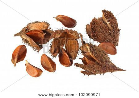 Beechnuts And Husks.