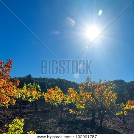 Gran Canaria, Autumnal Fruit Garden In Las Cumbres, Highest Ares Of The Island