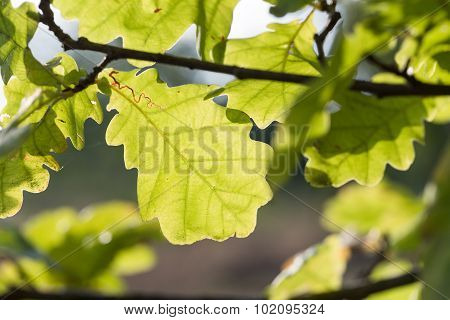 Oak Leaves Stagger From Wind In The Wild.