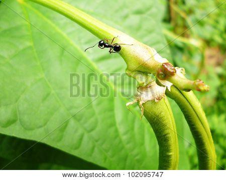black ant on yard long bean branch