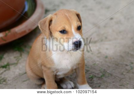 Cute Puppies of Amstaff dog animal theme