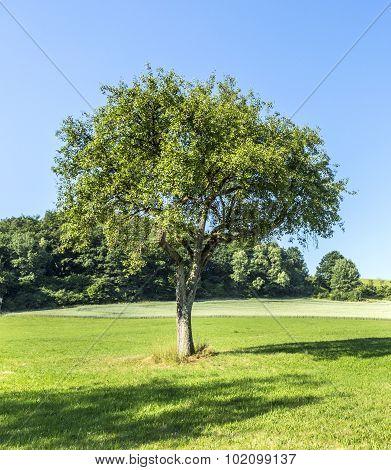 Apple Tree In Rural Landscape