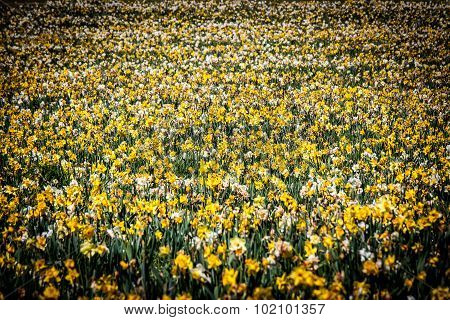 Large Field of Yellow and White Daffodils