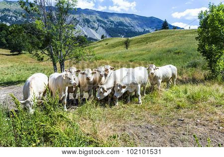 Grazing Cows In The French Alps