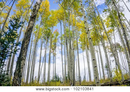 Colorful Colorado Aspen Tree Forest