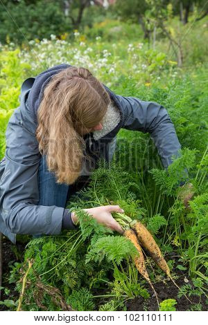 Woman Searching For Fresh Carrots