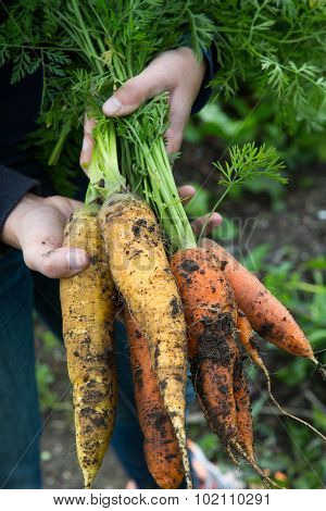 A Handful Of Orange And Yellow Carrots