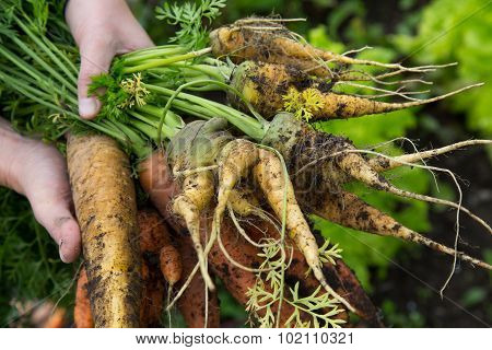 A Handful Of Odd Shaped Orange And Yellow Carrots