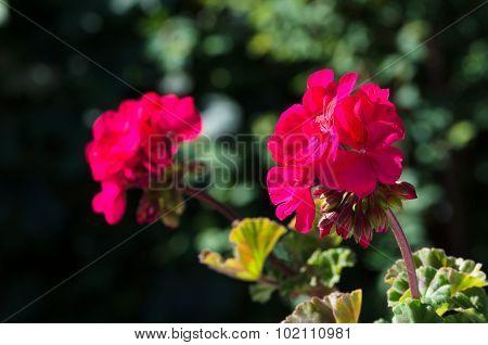 Pink pelargoniums