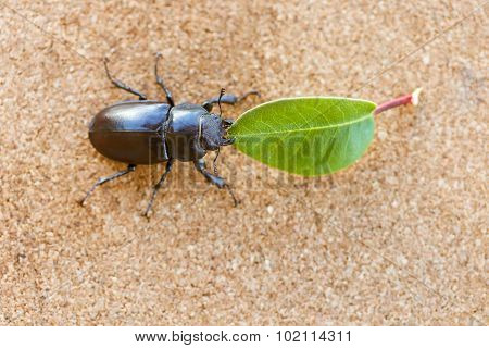 Female Stag Beetle Holding A Leaf