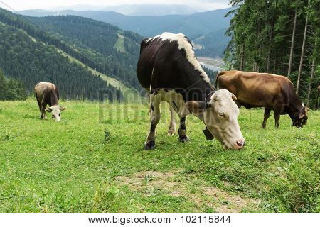 Herd Of Cows Grazing In Mountains