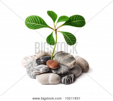 Green Plant Growing On Naked Stones.