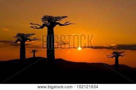 Baobab Trees At Sunset In Madagascar