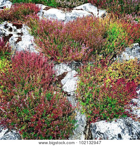 Heather Growing On White Rocks