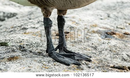 Canada Goose Feet And Claws Detail On Rock