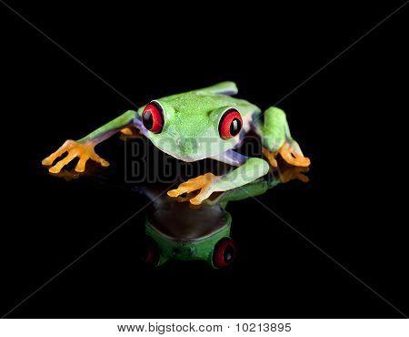 Tree Frog On Black