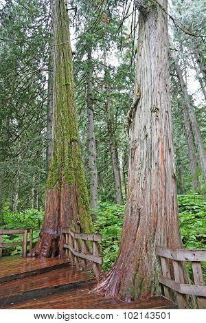 Giant Cedar Boardwalk Trail