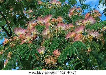 Close-up Of Blooming Albizia Julibrissin Branch.