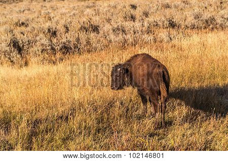 Juvenile Bison In Tall Grass