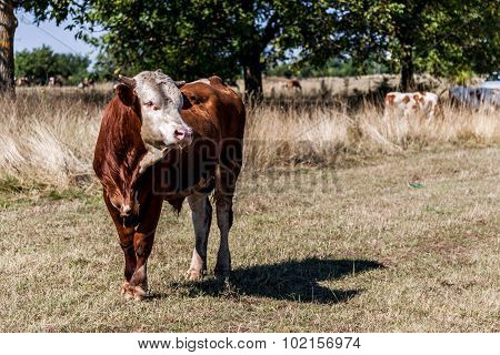 Big Strong Bull Outside The Nature