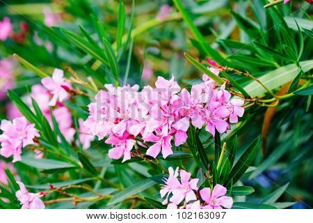 Oleander shrub pink rose flowers with leaves.