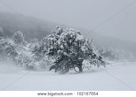 Landscape, Forest In Winter Blizzard