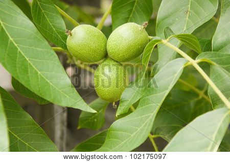 Walnut Tree With Leaves And Fruits