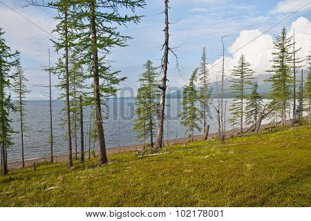 Larch On The Keta Lake.