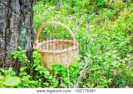 Empty wooden basket in the woods between blueberry bushes