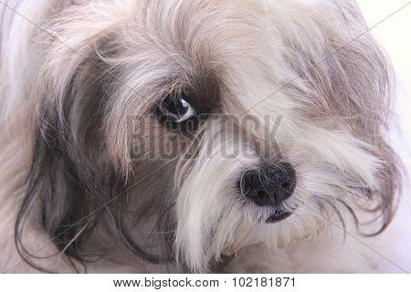 Emo Dog