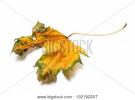 Autumn Yellowed Dry Maple-leaf On White Background