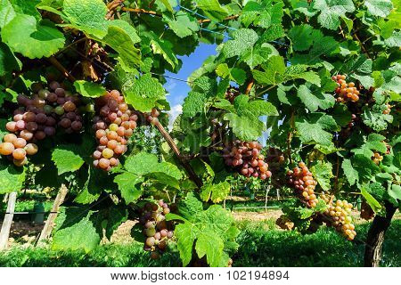 Gewurztraminer Grape Bunches On The Sun