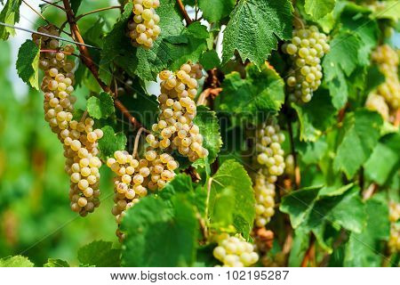 Muscat Grape Bunch On The Sun
